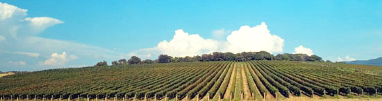 vineyards close to the sea in Bolgheri countryside